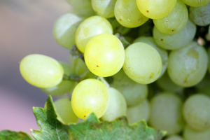 Researchers seek to solve the complex puzzle of Chardonnay